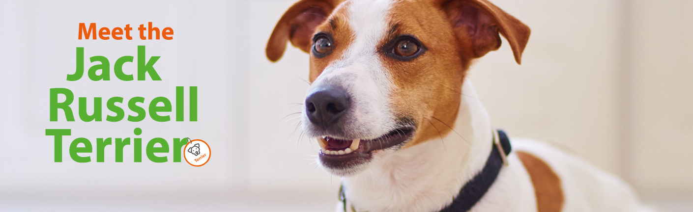 All about the Jack Russell Terrier!